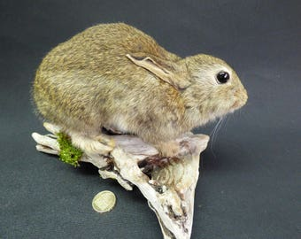 TAXIDERMY Baby Wild Rabbit (no:63) Mounted On Driftwood. Small Mammal. Total Length 25cm.