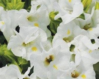 Torenia Seeds 500 Bulk Flower Seeds Kauai White