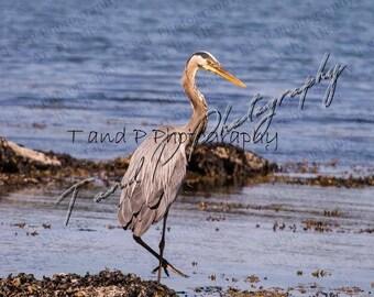 Great Blue Heron photo, bird photography, heron bird, dorm room art, wedding day art, bird picture, wildlife birds, nature, fishing bird