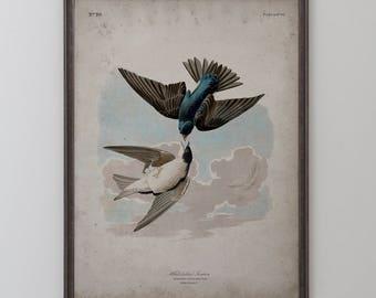 White Bellied Swallow: John James Audubon, Birds of America, Circa 1820's - Vintage Art Print