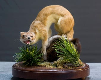 Taxidermy Stoat in a dome
