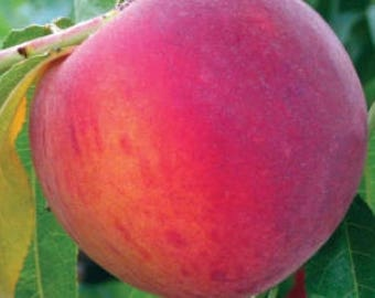 GaLa Peach Tree, 1 Gallon Potted Plant, Freestone, Hardy, Self Pollinating, Exceptionally Good Flavor, Fresh Fruit, Minimal Fuzz