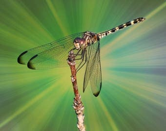 Cosmic Dragonfly, Dragonflies, nature,wildlife
