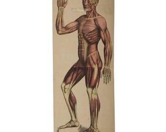 "Vintage School Teaching Chart ""Human Muscles"""