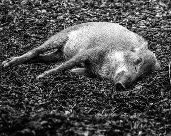Baby Boar Photo