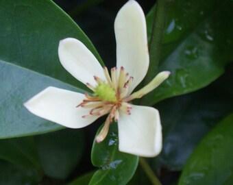 Banana Shrub ~ Improved ~ Michelia, Magnolia figo 'skinneriana ' ~ Live Plant