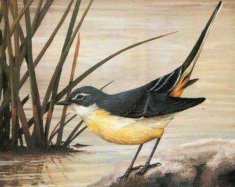 Grey Wagtail  [Motacilla cinerea]