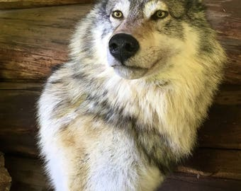 HEAVY FURRED Alaskan Timber Wolf Mount Taxidermy Amazingly Realistic