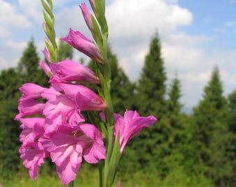 15 Seeds Gladiolus Imbricatus, Turkish marsh gladiolus