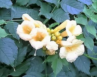 10 YELLOW HUMMINGBIRD TRUMPET Vine Flower Campsis Radicans Flava Climber Seeds