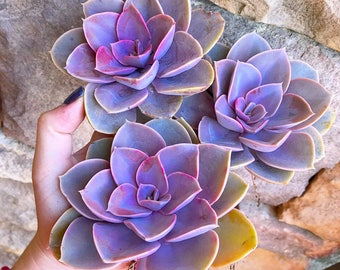 Echeveria Perle Von Nurnberg (PVN) (4in Succulent)