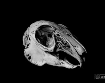 Death & Decay | Rabbit Bones | Dark Art | Animal Skull Black White Photography | Wall Art | Fine Art
