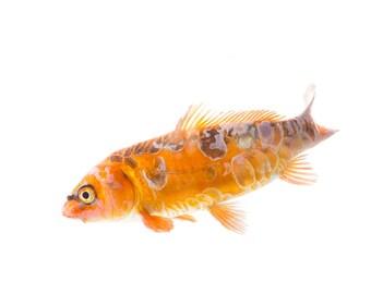 Photo of Spotted Orange Koi Fish, Wildlife Print, Wall Art Wildlife, Nature Photography