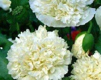 Poppy Seeds, FREE SHIPPING, Double Cream Peony Poppy Seeds, Rabbit Rescue Donation