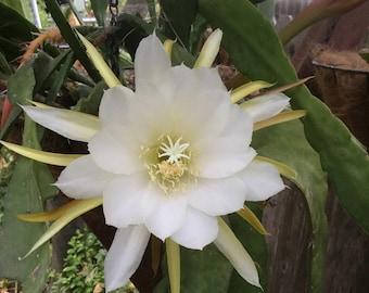 Laui Epiphyllum Cutting