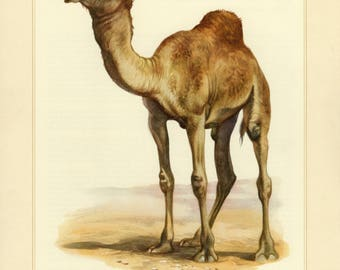 Vintage lithograph of the dromedary or camel from 1956