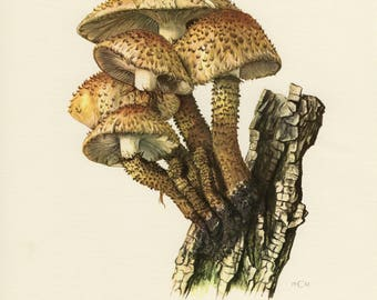 Vintage lithograph of the shaggy scalycap from 1961