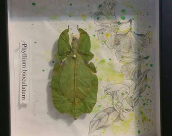 Female Leaf Insect with Watercolor & Ink