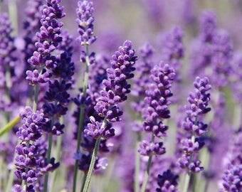 English Lavender Seeds 100 Organic NonGMO Hand Picked Bio Season 2016 Fresh New From Switzerland Flower Perennial Own Production Flowers