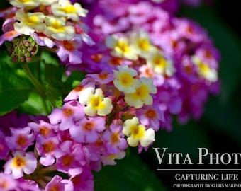 Lantana Flowers Print, Flower Photography, Wall Art Print, Photography Print, Digital Download