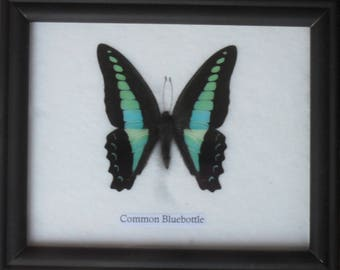 Real BUTTERFLY Collection Taxidermy in Frame / BTF01AA