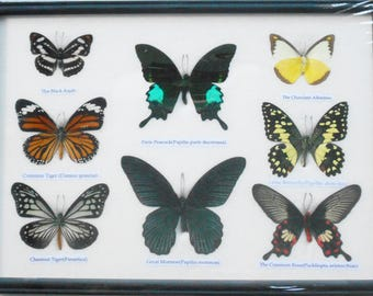 REAL 8 BEAUTIFUL Framed Butterfly Shop For Sale Collections Gifts Taxidermy  BF 20 W