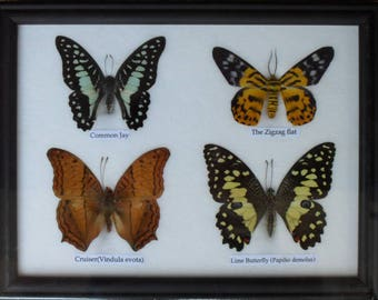 REAL 4 BEAUTIFUL Butterfly Taxidermy Framed     BTF04R