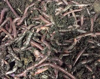 5lb African Nightcrawlers - Simple Grow Worms