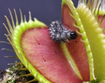 30-50 Seeds/Pack (Small Package), Wholesale Venus Fly Trap Carnivorous Plant Seeds - High Quality -