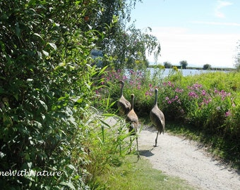 Sandhill Cranes - Going for a Stroll - Digital Image
