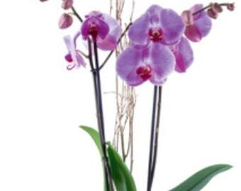 Orchid pot composition (Christmas)