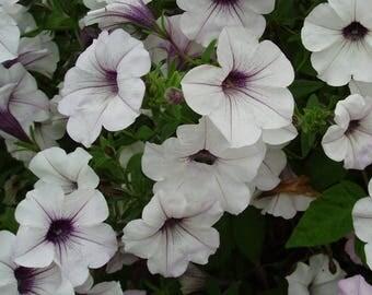 Petunia Big Tidal Wave Silver White Bonsai Garden Flowers 100pcs Seeds Heirloom Ornamental Annual Plants