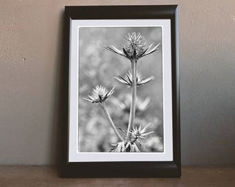 Close up of a Sea Holly in Black and White. Photo Wall Art Print