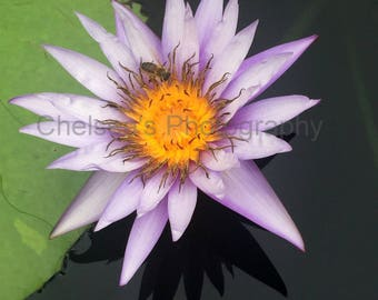 Tranquil Water Lily & Bee Photograph