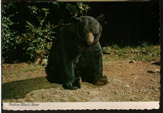 Native Black Bear – Great Smoky Mountains – Vintage Souvenir Postcard