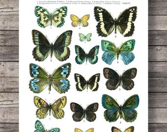 Antique 1800s Butterfly Science Chart Poster Art Print  Vintage Butterfly Chart