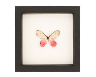 Mounted Butterfly Art Pink Glasswing Display