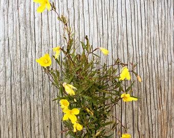 Evening Primrose Seeds, Oenothera Seeds, Primrose Seeds, Perennial Flower Seeds, Butterfly Garden Seeds, Organic Flower Seeds