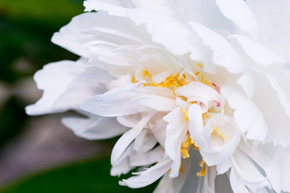 White Peony, Still Life Print, Nature, Flower Art, Peonies Print, Home Decor, Pastel Art, Girls Room Photography, Botanical Photo