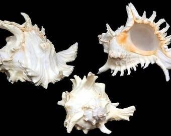 """2--Pacific Ramosus Seashells 3"""" to 4""""--Hermit crabs-aquariums-terrariums-crafting"""