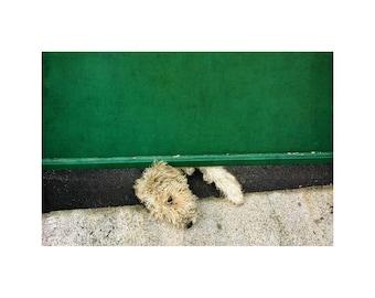 Wheaten Dog Photo, Cute Dog, Animal Photography, Green Gate