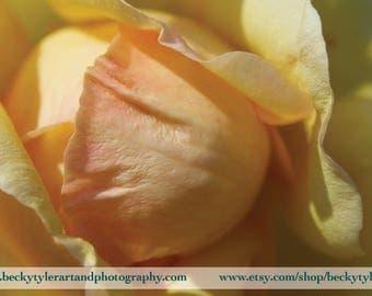 Yellow Rose Macro Photography Fine Art  Photo Print