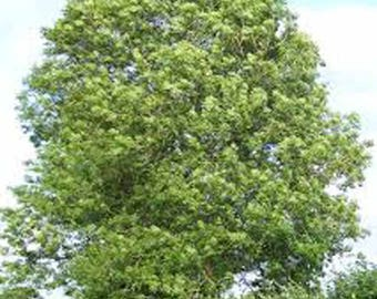 100 Common Ash Tree Seeds, Fraxinus Excelsior