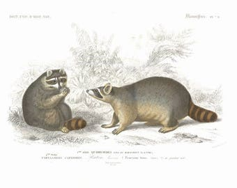19th Century hand colored engraving of Raccoons  decorative art, wall art, art decor, arts and crafts, free shipping