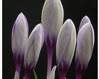 Saffron Crocus seeds,purple white  saffron crocus seeds,crocus of Kozani seeds,221,gardening,