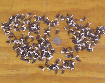175 Real Coyote Claws