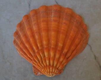 "Orange Lion's Paw Scallop (5-6"") - Pecten Subnodosus"
