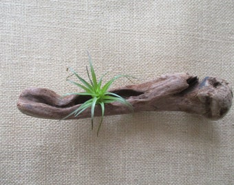 "Driftwood Air Plant Wall Holder ""Nautical Style"""