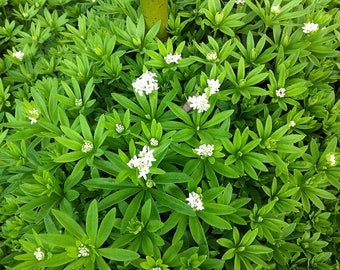 Sweet Woodruff Plant - Galium-Herb/Groundcover - 48 Plants