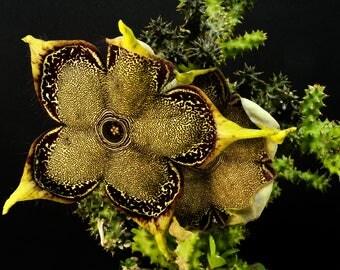 Edithcolea grandis , Stapelia, Asclepiadaceae , Caralluma